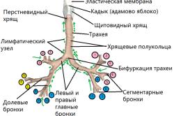 Бронхиальное дерево